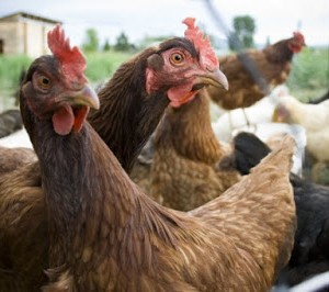 Chicken Pecks Buyer To Coma In Asaba