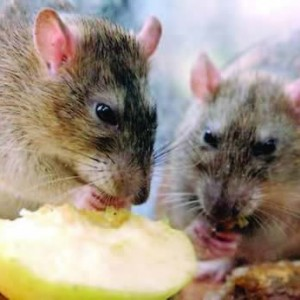 53 Year Old Woman Dies From Lassa Fever In Akwa Ibom State