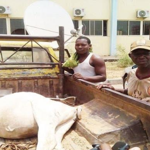 Photo: Farmer arrests cow in Abuja for destroying his crops