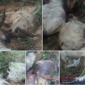 Fulani Herdsmen And Their Cows Reportedly Killed By Unknown Attackers In Plateau.