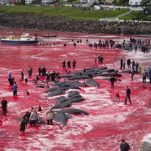 PHOTOS: Villagers Turn Sea RED As They Slaughter 180 Whales On Faroe Island