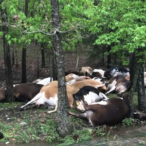 Thunder Kills 23 Cows In Ekiti Community, Fulani Owner Laments Loss
